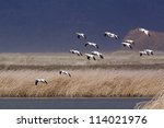 Ross's Geese In Flight Against...