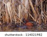 Cinnamon Teal Drake In Wetland...