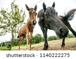 curious horses looking at... | Shutterstock . vector #1140222275