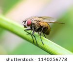 Exotic drosophila fruit fly...