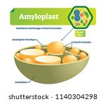 amyloplast vector illustration. ... | Shutterstock .eps vector #1140304298
