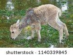 barbary sheep ammotragus lervia ... | Shutterstock . vector #1140339845