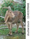 barbary sheep ammotragus lervia ... | Shutterstock . vector #1140339848