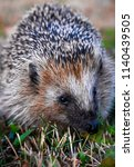hedgehog in the grass close up | Shutterstock . vector #1140439505