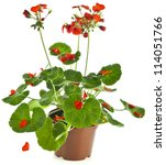 Potted Plant Of Red Geranium...