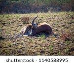 Endangered Blesbok Antelope...