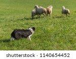 Small photo of Sheep Dog Behind Group of Sheep (Ovis aries) - at sheep dog herding trials