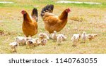 Chickens With Their Chicks
