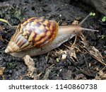 A Giant African Land Snail...