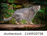 manul or pallas's cat ...   Shutterstock . vector #1140920738
