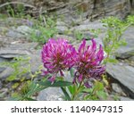 lilac flowers of clover on a... | Shutterstock . vector #1140947315