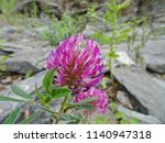 lilac flowers of clover on a... | Shutterstock . vector #1140947318