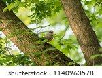 american robin is a native... | Shutterstock . vector #1140963578