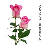 Beautiful Pink Rose Isolated O...