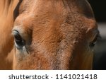 przewalski's horse or... | Shutterstock . vector #1141021418