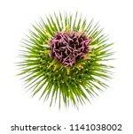 Greater Burdock  Arctium Lappa...