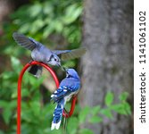 blue jay  cyanocitta cristata ... | Shutterstock . vector #1141061102