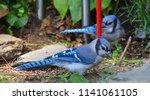 blue jay  cyanocitta cristata ... | Shutterstock . vector #1141061105