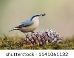 Eurasian Nuthatch In The Fores...