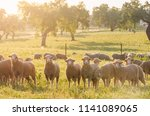 sheeps in the field looking at... | Shutterstock . vector #1141089065