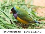 the gouldian finch  erythrura... | Shutterstock . vector #1141123142