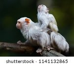 silvery marmoset  mico... | Shutterstock . vector #1141132865