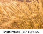 rye spiked wheat on the field... | Shutterstock . vector #1141196222