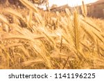 rye spiked wheat on the field... | Shutterstock . vector #1141196225