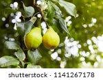 fresh juicy pears on pear tree...   Shutterstock . vector #1141267178