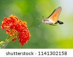 Hummingbird Hawk Moth Flying T...