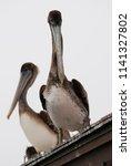 california brown pelican on a... | Shutterstock . vector #1141327802