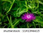 one wild flower of violet color ... | Shutterstock . vector #1141346615