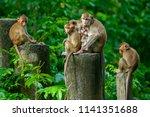 the family of monkeys zoo in... | Shutterstock . vector #1141351688