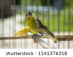 siskin in the cage  sunny... | Shutterstock . vector #1141376318