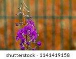one branch of wild flowers of... | Shutterstock . vector #1141419158