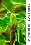 grasshoppers  acridians ...   Shutterstock . vector #1141540562