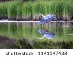 Great Blue Heron.  This...