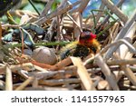 An American Coot Chick In A...