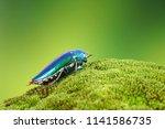 jewel beetles or metallic wood... | Shutterstock . vector #1141586735