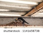 Stock photo swallow s nest with baby barn swallow patiently awaits feeding from parents 1141658738