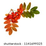 Autumn Rowanberries And Leaves...