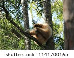 a lar gibbon hylobates lar ... | Shutterstock . vector #1141700165