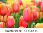 bright  colorful tulips close... | Shutterstock . vector #11418541