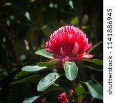waratah is a native australian... | Shutterstock . vector #1141886945