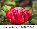 native australian wild waratah... | Shutterstock . vector #1141889648