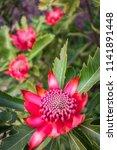a group of wild waratah flowers ... | Shutterstock . vector #1141891448