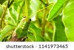 grasshoppers  acridians ...   Shutterstock . vector #1141973465