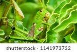 grasshoppers  acridians ...   Shutterstock . vector #1141973732