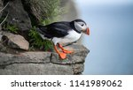 Portrait of an atlantic puffin. ...