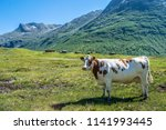 white and brown cow infront of... | Shutterstock . vector #1141993445